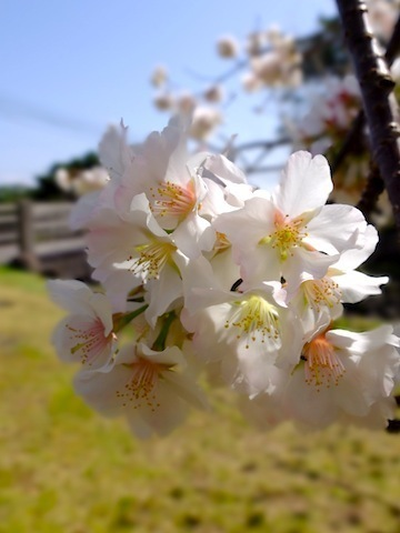 20160310一昨日の桜.JPG