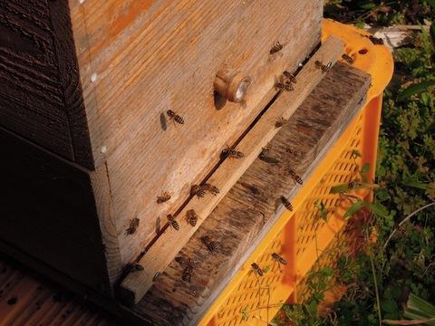 20130223元気な蜂たち.JPG