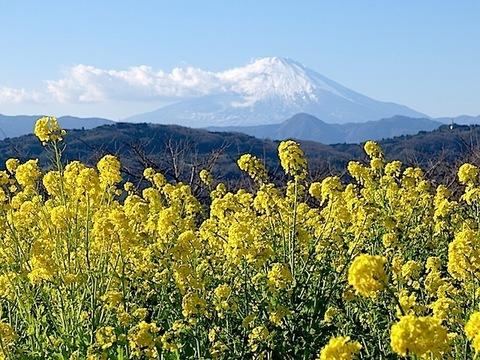 20170105吾妻山 菜の花と富士.JPG
